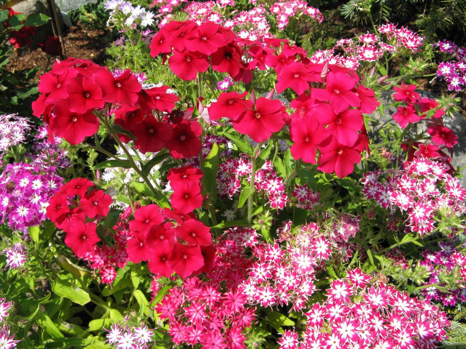 Цветы флокс друммонда фото описание
